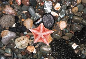 starfisch