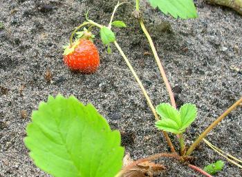 letzte_erdbeere