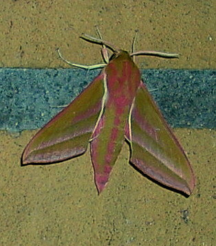 Mittlerer Weinschwärmer - Deilephila elpenor