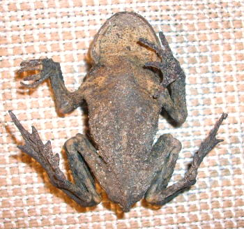 mumifizierte Erdkröte