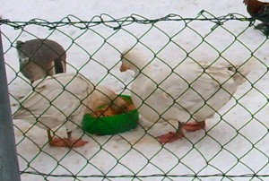 Gaense mit Tomatensoße - Geese with tomatoe sauce